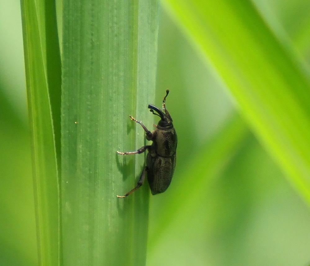 この、ゾウムシ?のような昆虫の名前を教えてください。