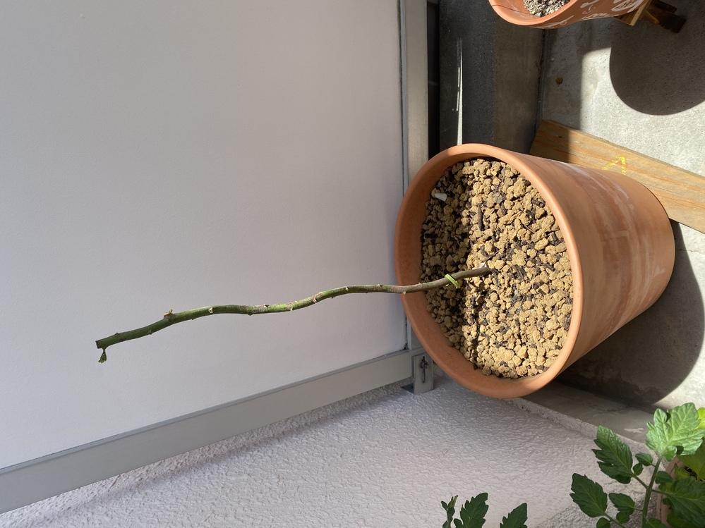 鉢植えのアカシアミモザの主幹を太くしたくて、枝を全て切り落とし主幹の丈を短くしました。 小さなわき芽は出てきているのですが、1か月近く主幹が伸びている様子はなくこのままでいいのか心配です。 幹...