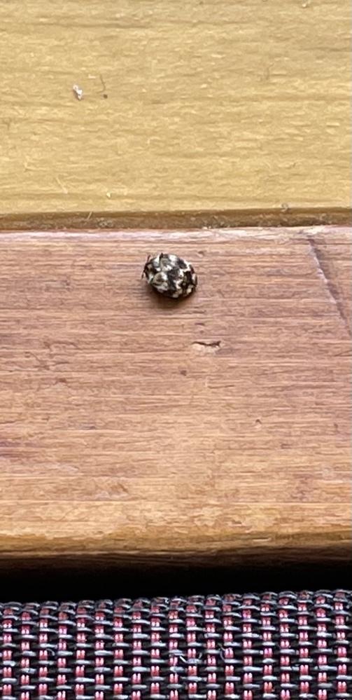 団地に引っ越してからこの虫が大量に部屋にいるのですがなんで名前の虫でしょうか? 部屋は畳です また駆除の方法がわかる方是非教えていただきたいです!