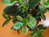 この観葉植物の葉っぱが変色している原因と対策を教えて下さい。室内です。 育てるに当たっての注意点や育て方もわかりましたらお願いします。