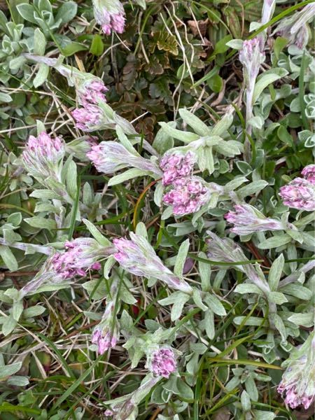 家の近くに咲いている花を知りたいです。 こちらの花、分かる方いましたら教えて頂きたいです。 よろしくお願いします。