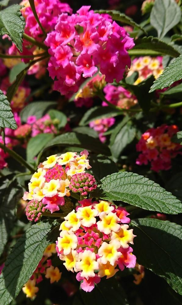 このお花の名前を教えてください。 花や葉っぱの感じから紫陽花の仲間かな?と思うのですが… 1本の木から咲いてました