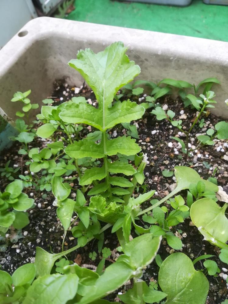 ベニーリーフの種を植えたのですが、何の野菜だかわかりますか? 袋には「小松菜、チンゲン菜他」とありますが、その2つではないようです。