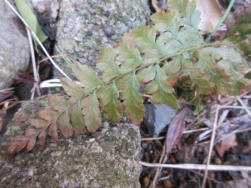 シダ植物の名前を教えて下さい。
