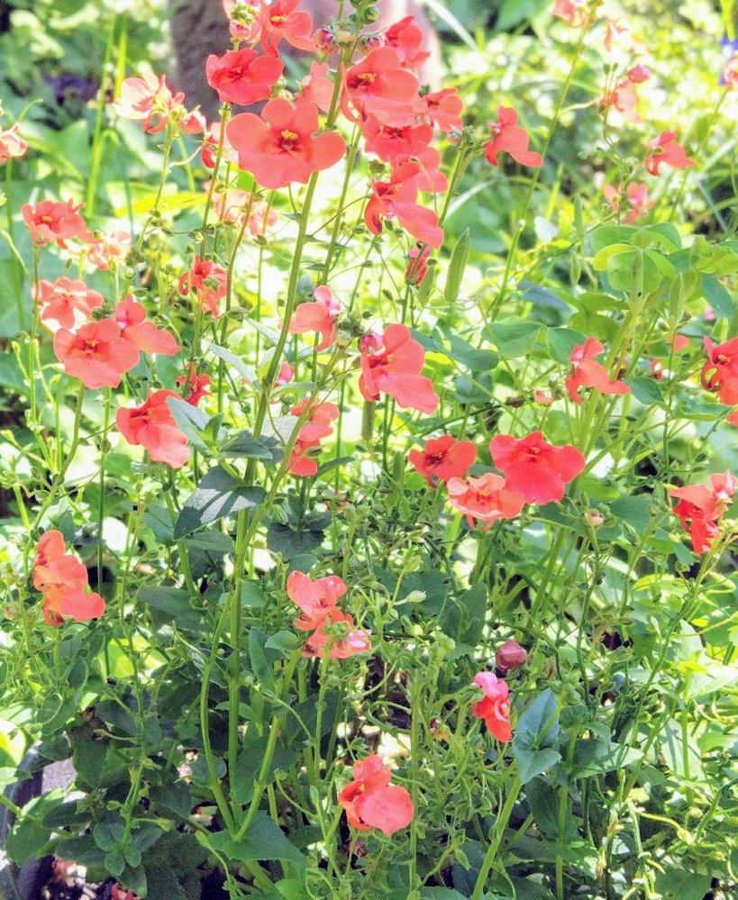 このお花の名前を教えてくださいm(_ _)m 6月ごろから咲き始めて夏の間結構咲いていました。 (去年の写真です) ホームセンターで花付きの苗を買ったのですが、名前をわすれてしまいました。 草丈は30センチくらいで一本一本はヒョロっとしています。 一年草か多年草、宿根草かもわかりません。そこら辺も教えていただけたら嬉しいです。 5/10現在、それらしき葉っぱが庭のあちこちから出てきているような気がしますが、この花かどうかまだわかりません。 よろしくお願いします。