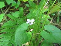 スミレの種類だと思いますが、筑波山の尾根沿いの標高200M位のところで咲いていました。名前教えて下さい。 撮影日5/10、草丈15CM程です。