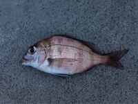 この魚はなんですか?マダイで合っていますか?大きさは20cm程です。マダイだとしたら若い方でしょうか?