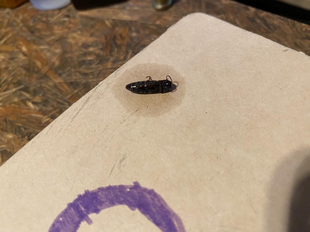 玄関のドアを開けた際に家の中に入ってきました。ハチ・アブ用の殺虫剤で殺してしまいましたがこの虫はなんでしょうか? 写真では見えませんが羽が生えていて飛んでいました。 どなたか教えて下さい宜しくお願いします。