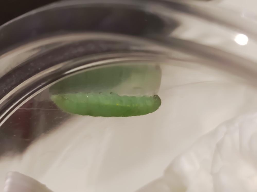 これは青虫はモンシロチョウの幼虫ですか? 4月29日に買ったスティックセニョールの茎に付いていました。キャベツやのらぼう菜をよく食べ大きくなりました。 昨日、おとといはほとんど動かず。でもフンが落ちていたので食べてはいたようです。 先ほどから容器の中を右往左往してかなり歩き回り、この場所に落ち着きジーッとしています。 この画像のサイズでちょうど2センチです。歩いてる時はもっと長かったです。 もうサナギになりますか? モンシロチョウの幼虫なら高い確率でハチに寄生されるようですね。寄生されていたとしたら、いつ頃出てきますか? 育てているうちに可愛くなったので、寄生されていたらショックです。