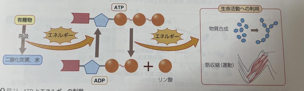 高一生物です。 呼吸で得たエネルギーを生命活動に利用するまでの過程について下の図を用いて説明せよ。 という問題が分からないので教えて欲しいです。