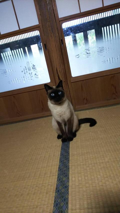 このシャム猫を見て、どう思いますか