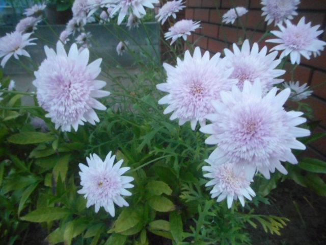 自宅近くにとてもきれいに咲いていました。 こちらには他にも幾つか素敵な花が栽培されていて、目移りしてしまいます。 が、名前がわからない花ばかりです。 名前をお分かりの方、教えて下さい。