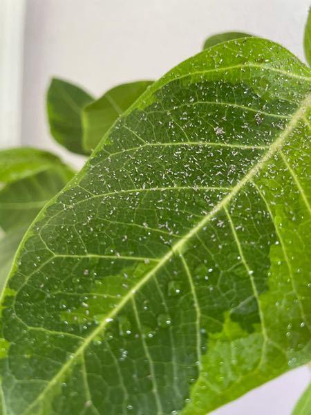 【観葉植物】 部屋で観葉植物を育てているのですが、写真のような葉があります。これはどのような状態でしょうか?初めての観葉植物なので、あまり知識はありません。 教えていただけると助かります。