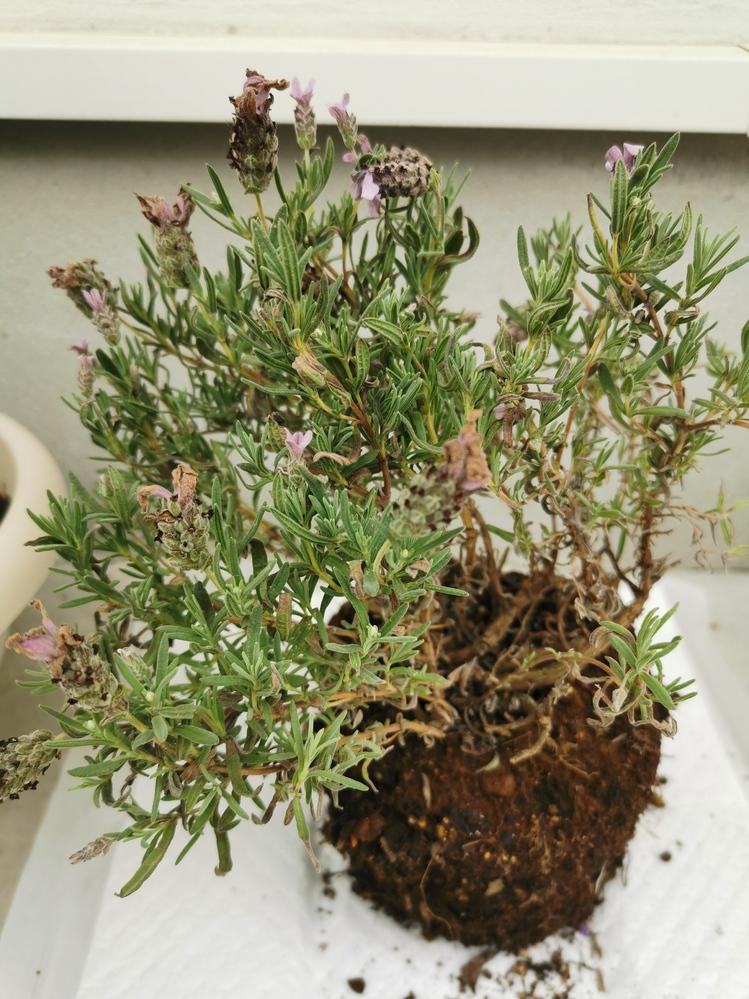 ラベンダーの栽培に詳しい方 プランターに植えていたんですが写真の様な状態になってしまいました。 枯れていますか? 復活させる方法はありますか