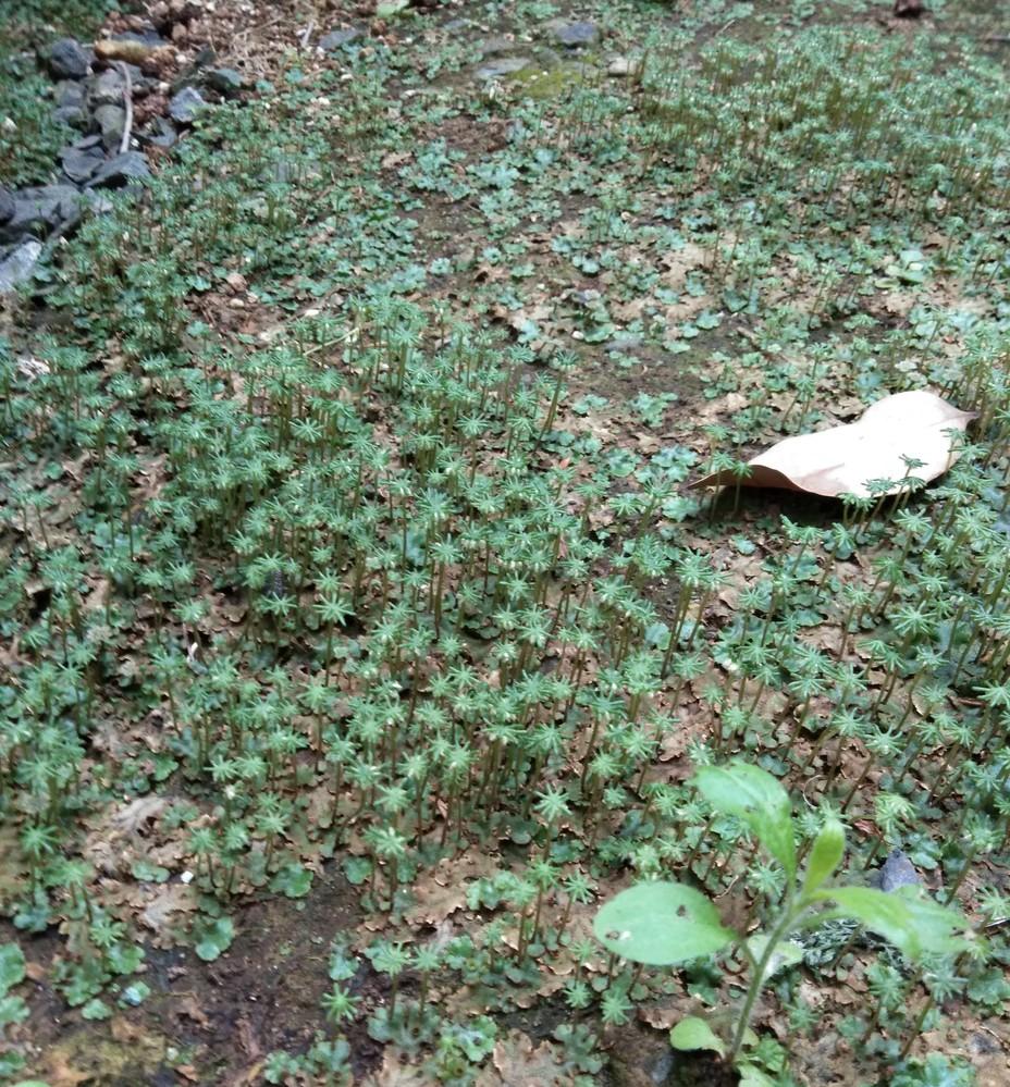 毎年ゼニゴケが生えます 年々広範囲に増えています 今年は薬を撒かなかったので、写真のようになりました。 今から薬をかけても手遅れですか ? ゼニゴケの下の土から剥がした方が宜しいですが ? 毎年土から剥がす事が多くて、段々土が無くなるのですが、 良い方法があれば教えて下さい。
