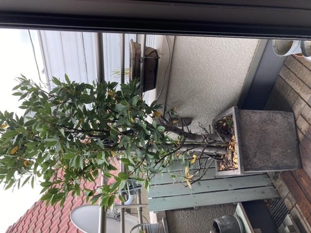 り消す質問 月桂樹を鉢植えにしているのですが、一部の葉が黄色くなっています。根に何かトラブルがあるのでしょうか? 写真添付します。