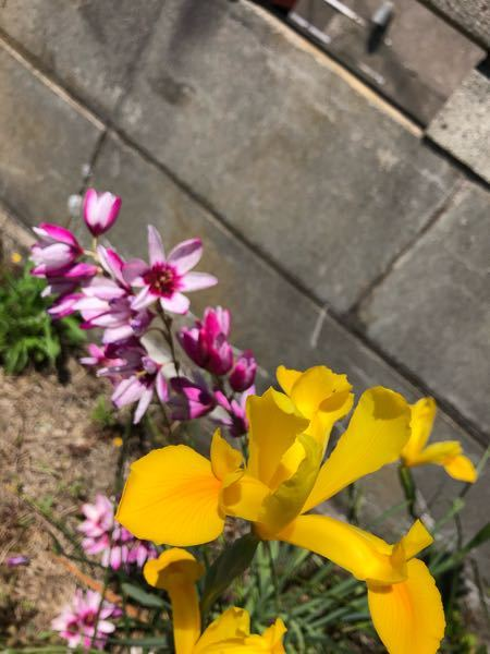 ピンクと黄色い花の名前はなんですか?