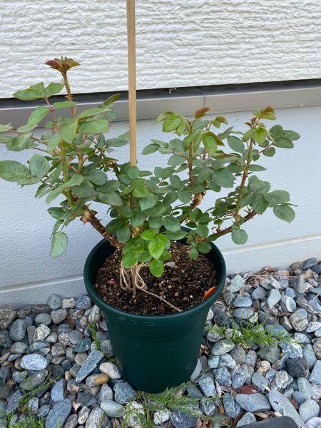 バラ(カインダブルー)の栽培について。 バラ初心者です。 5月2日頃に苗を購入し、鉢増ししました。 その後、本(鉢で美しく育てるバラ)の栽培カレンダーをみたところ、5月中に1番花が咲く、とありました。しかし、写真の通り花はおろから蕾もついていません。 そこで質問です。 ①この写真の状態は、一番花が咲いた後でしょうか?それともこれからでしょうか? ②液肥や置き肥など、管理はどうすれば良いでしょうか?(カレンダーには、5月には置き肥と薬剤散布をするようにとありますが、開花していないので本の通りにすべきか悩んでいます) よろしくお願いします。