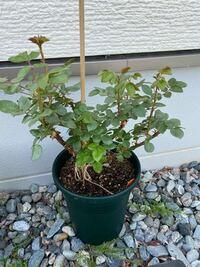 バラ(カインダブルー)の栽培について。 バラ初心者です。 5月2日頃に苗を購入し、鉢増ししました。 その後、本(鉢で美しく育てるバラ)の栽培カレンダーをみたところ、5月中に1番花が咲く、とありました。しかし、写真の通り花はおろから蕾もついていません。 そこで質問です。 ①この写真の状態は、一番花が咲いた後でしょうか?それともこれからでしょうか? ②液肥や置き肥など、管理はどうすれば良いでしょ...