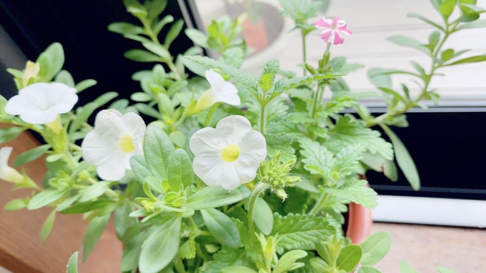このお花。白と白ピンクのお花の名前わかりますか?