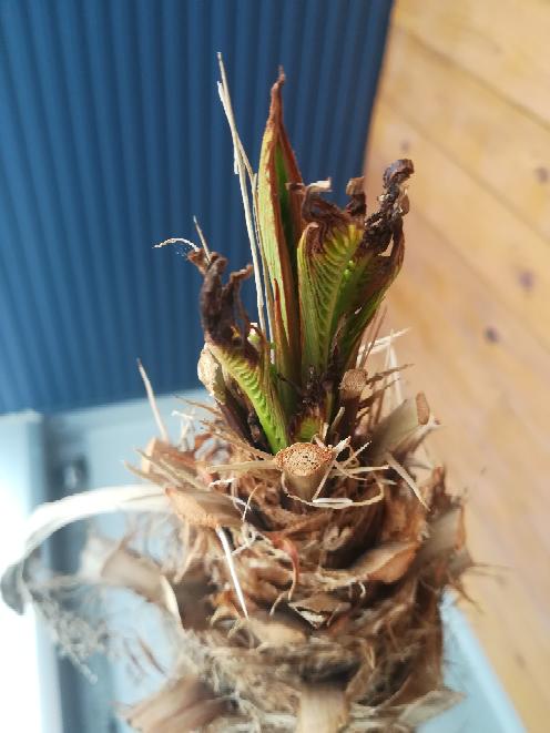 鉢植えのフェニックスロベレニーが瀕死の状態です。 冬場に外に出していたのが原因と思われます。葉が茶色くなり出して、その後は温かい室内に入れたのですが、葉がすべて茶色くなりました。茶色なった葉はすべてカットし、現状は緑の部分が写真のように残っているだけです。何か対応策はないでしょうか?