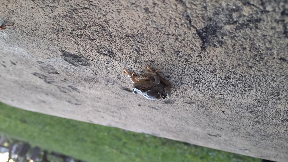 このカエルは何というカエルでしょうか?