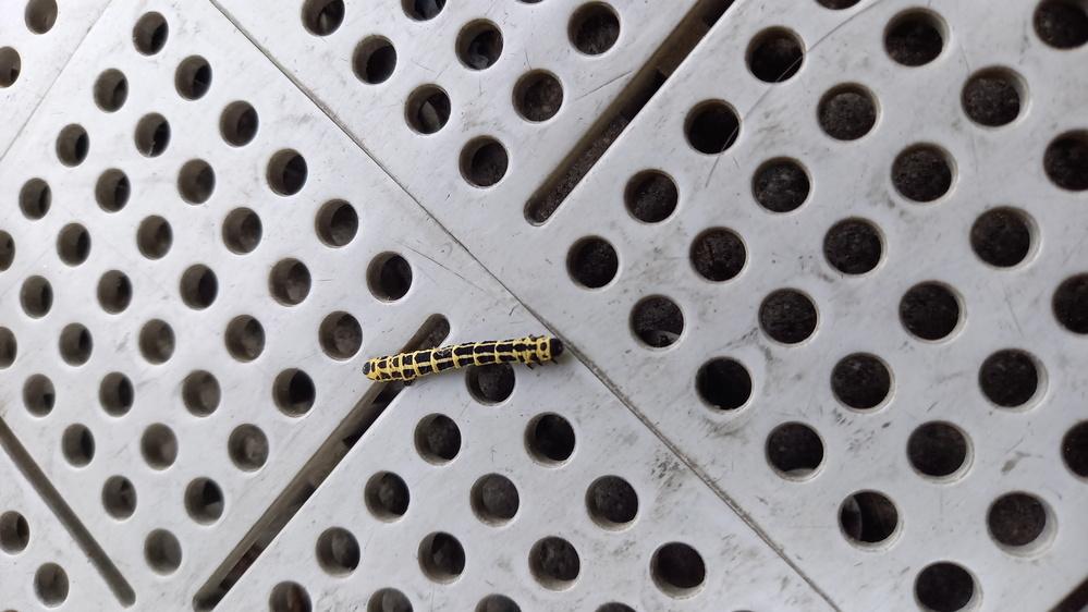 何の幼虫か教えてください。 今日、仕事場にいました。 調べてみましたが当てはまるものがみつかりませんでした。 3cmぐらいの大きさだったと思います。 気になって気になって仕方ありません! 回答、よろしくお願いいたします。