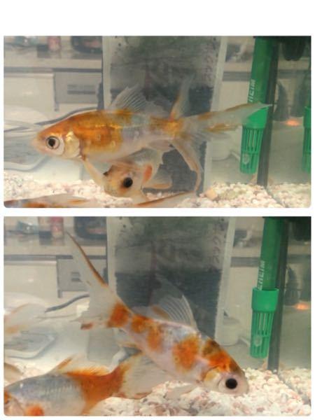 金魚のヒレがギザギザになってしまいました。 初めは尾ぐされ病かと思いましたが、尾ぐされ病によく見られる白いモヤはありません。 三匹いる中のこの二匹はヒレ全てがギザギザです。 気になることといえば、金魚自体は元気なのですが、ここのところずっと白濁り状態です。 白濁り以降エサを減らして、3分の1水換えを毎日やったり、コトブキの白濁り除去剤を入れたりと色々と試行錯誤しましたが、まだ濁ってます。 ネットで色々調べて、あらゆることをやってみましたがもうお手上げ状態です。 どなたか教えていただきたく質問させていただきました。よろしくお願いします。