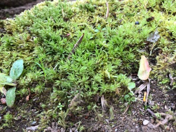 庭に生えている、このコケはなんでいう種類かお分かりになります?