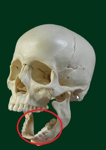 ヒトの下アゴの底面の部分に骨が無いのはナゼですか?
