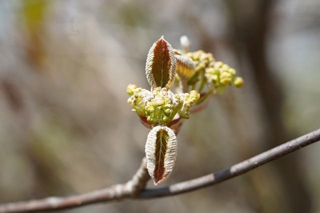 福島の山で見かけました。 この花〈木)の名前を教えて下さい、 よろしくお願いします、