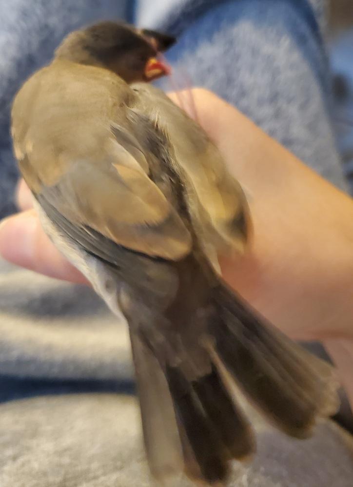 今日で生まれて30日の桜文鳥のヒナの事で質問です。最近身体中痒いのかよくくちばしで掻いたり足で掻いたり羽を震わせています。 大丈夫でしょうか?