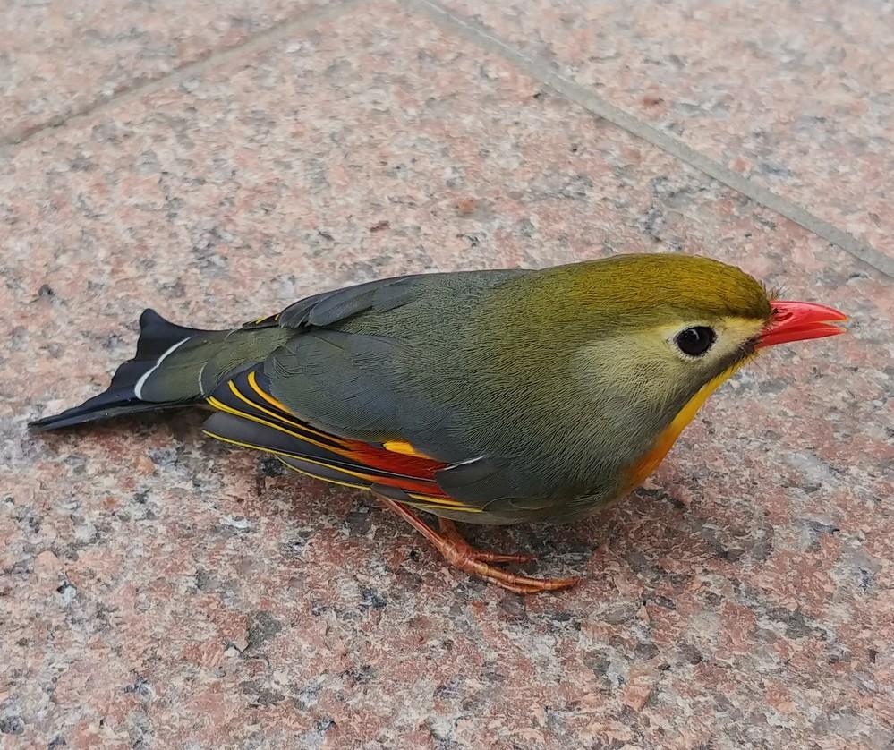 この鳥はなんという種類でしょうか? 近所にいました。