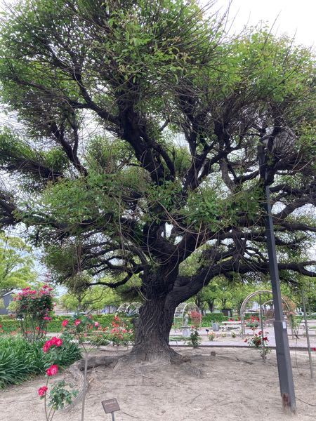 愛知県東海市元浜公園のらあちこちにある木です。名前は何でしょうか?