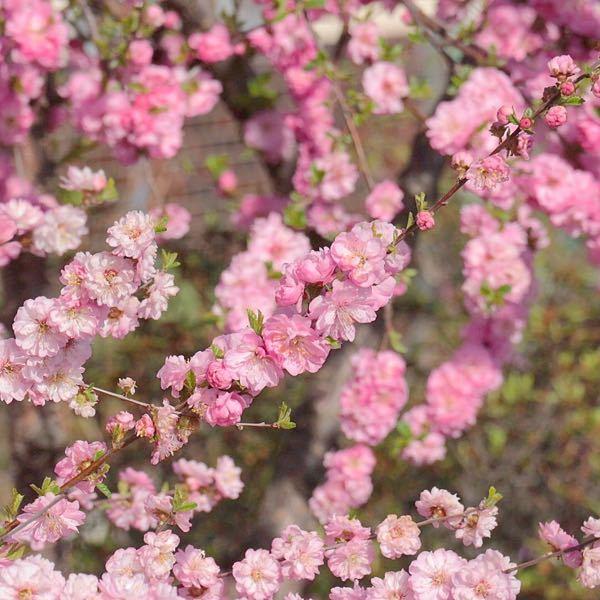 近所で咲いていたのですが、これは梅の花でしょうか? 八重?でとてもボリュームがありました。 北海道 道東です。