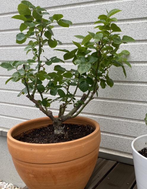 5月になるとあちこちのお宅のバラを見かけては綺麗だな〜と思いながら、ずっとバラを育ててみたいとおもっていましたが、 今日思い立ってホームセンターでギーサヴォアの鉢植えを買ってきました。 全くの初心者です。バラを育てる先輩方に色々教えて頂けたらありがたいです。 とりあえずひとまわり大きいテラコッタの鉢に植え替えて南側のウッドデッキに置いてみました。バラ用の腐葉土にバラ用肥料をまぜて植えています。 これ(写真)は一度花が咲いて剪定をしたあとの状態でしょうか? 今日植えかえてからたっぷりの水やりをしています。 次の花はいつごろ咲くのでしょうか? これから気をつけていくこと、うまくいけば地植えしてみたいのですが、タイミングなどアドバイスいただけたらと思います。