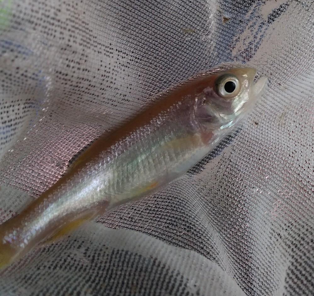 我が家で飼ってる魚の種類がわかりません。 以前子供が、川でメダカだと思って、大切に育てました。最近、これメダカじゃないと人から言われました。 写真から魚の種類、わかりますか? 最初は、とても小さな魚でした。