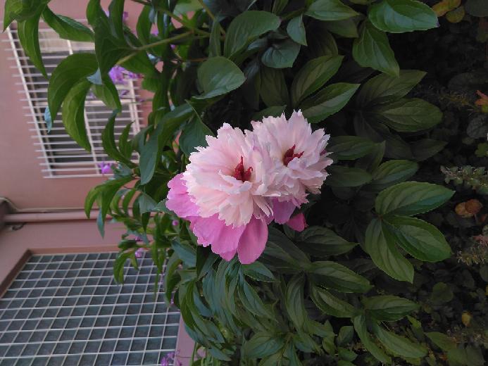これは何という花ですか?初めて見ました!花びらが2種類あります!ひとつの花です!造花ではないです!びっくりしました!
