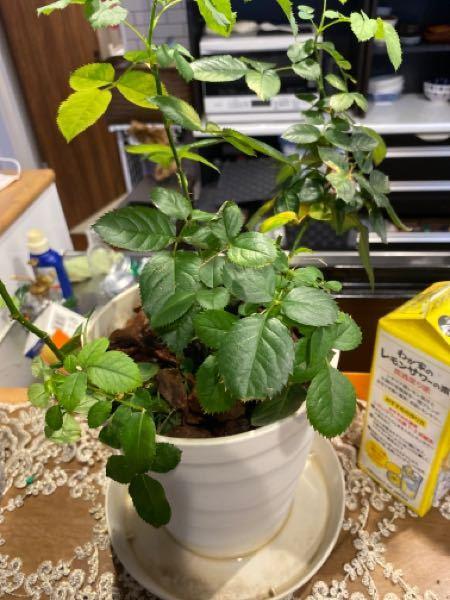 インフィニティローズを室内で育ててます。 お水もしっかり与えて、日光浴もさせて、でも全く蕾をつけないので困ってます。 葉も一部枯れたりと、成長の兆しがありません、 なので薔薇用の土を作り入れ替えてみました。 洗浄してみたら根が全く成長していませんでした。 その後、水をやった後の受け皿の水の匂いを嗅ぐとカビくさい様な気がします。 もうダメでしょうか?