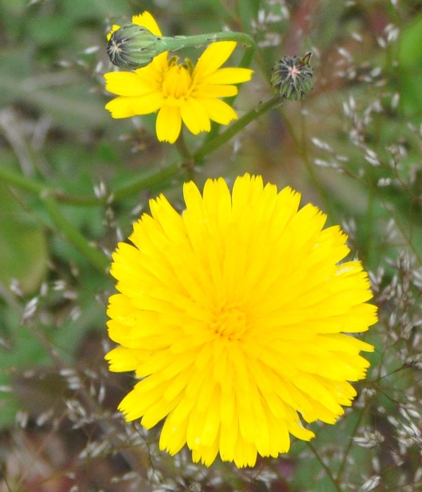 この花の名前を教えて頂けませんか? 野草のようで山陰地方の自宅の公園や道路際に沢山咲いています。 花の直径は3センチから5センチくらいまで、地面ら30~50センチの高さの茎の上に咲いています。 群生するようです。 日中は黄色い花を咲かせていますが夕方、18時頃には花を閉じています。 よろしくお願いします。