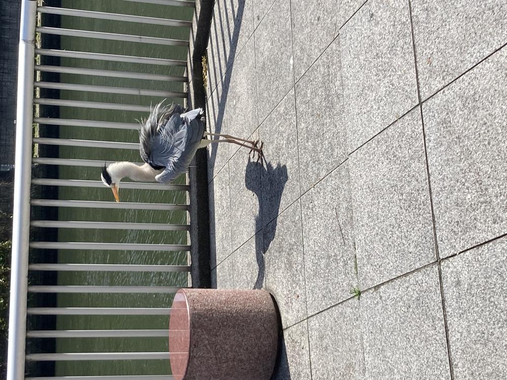 この鳥はなんという種類ですか?川沿いにいました。 教えてください。