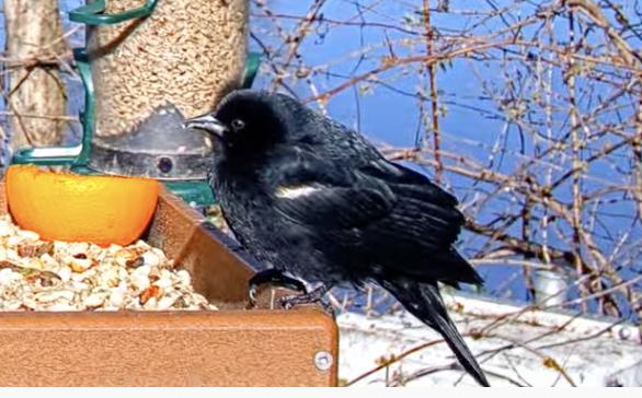 画像の鳥の名前を教えてください。 ニューヨークにいる鳥で、 黒くて、肩のあたりに白っぽい(角度によってはオレンジに見える)線の入ってる鳥なのですが、名前がわかりません。 ネットで検索すると、ハッカチョウというのがヒットするんですが、 ハッカチョウとは形やくちばしの色が違うので別の鳥なんじゃないかと思います。 カラスの亜種かな?