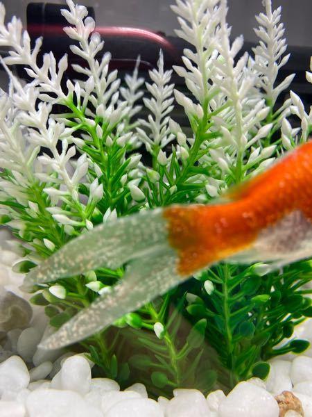 初めて金魚を飼ったんですが、しっぽに白い斑点がいっぱいついてます。ネットで調べて塩水浴をして見たのですが、戻してみたら前よりも増えたように感じます。どのようにすれば治りますか?因みに2匹です!