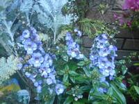 この花はデュランタでしょうか? 或いは別の花でしょうか? お分かりの方、教えて下さい。