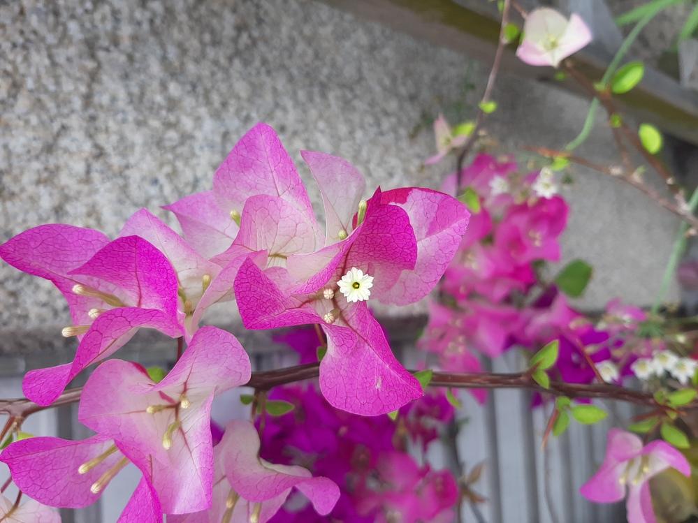 この花の名前を教えてください。 ピンクの部分も葉ですか? そうだとしたら緑の葉とは違う種類?の葉なのでしょうか? ご存知の方いましたら、回答お願い致します!