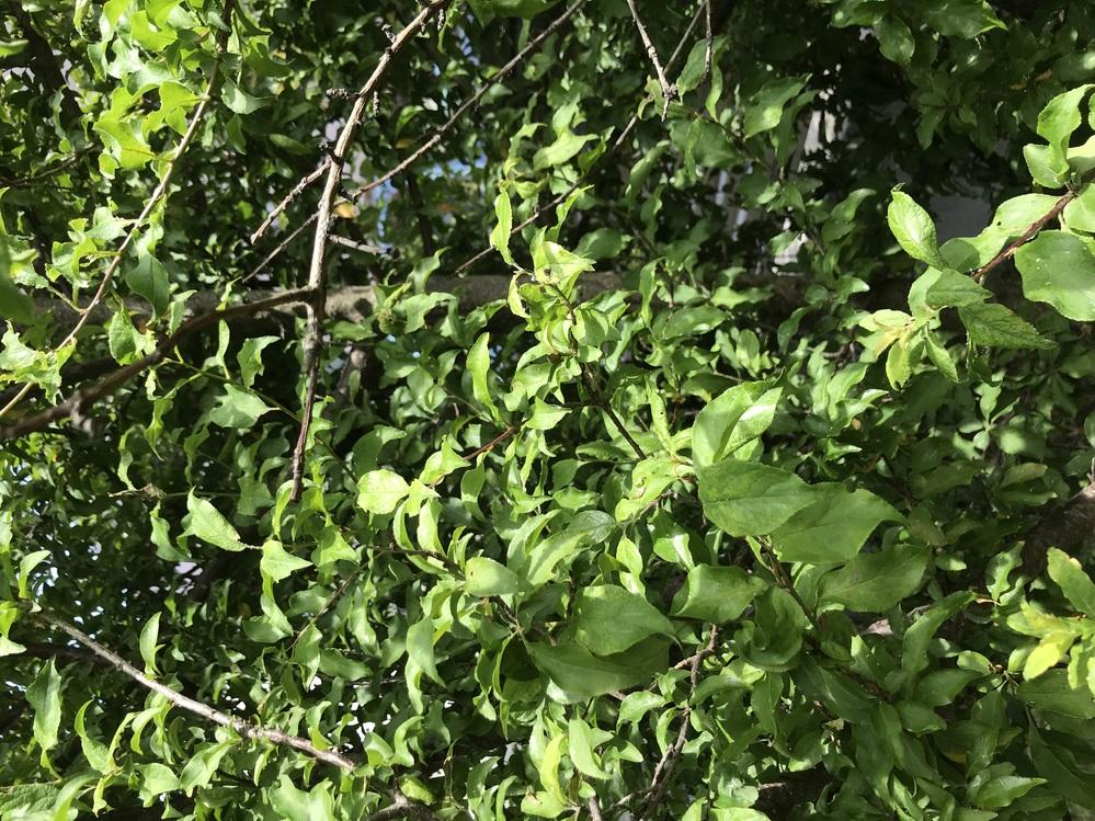 5年ほど前に桃の苗木を庭に植えました。 昨年までは5個程度ですが、美味しい桃ができました。しかし今年は桃ができていた枝が枯れ、葉っぱの苗木だけが大きく育っています。 一つのポットで購入しましたが、実ができる苗木とそうでない苗木がセットだったように思います。 そうでない苗木だけが花も実もつけずに育っています。 品種もわかりません。 初めから植え直すしかないでしょうか?