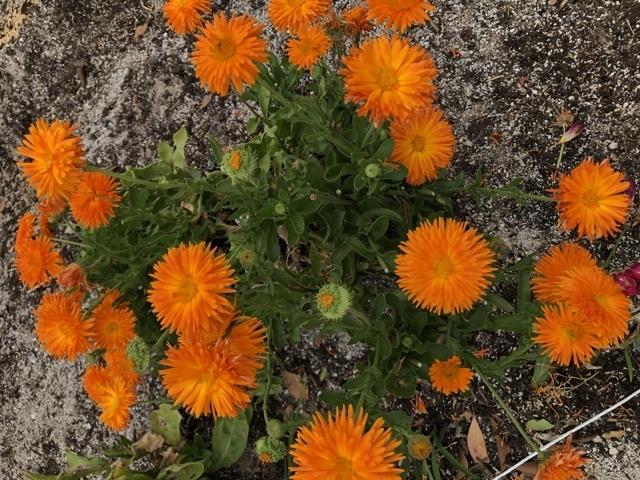 これはなんというお花ですか?
