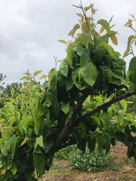 梨の摘果 葉っぱ多すぎじゃないですか? 実が隠れてます。