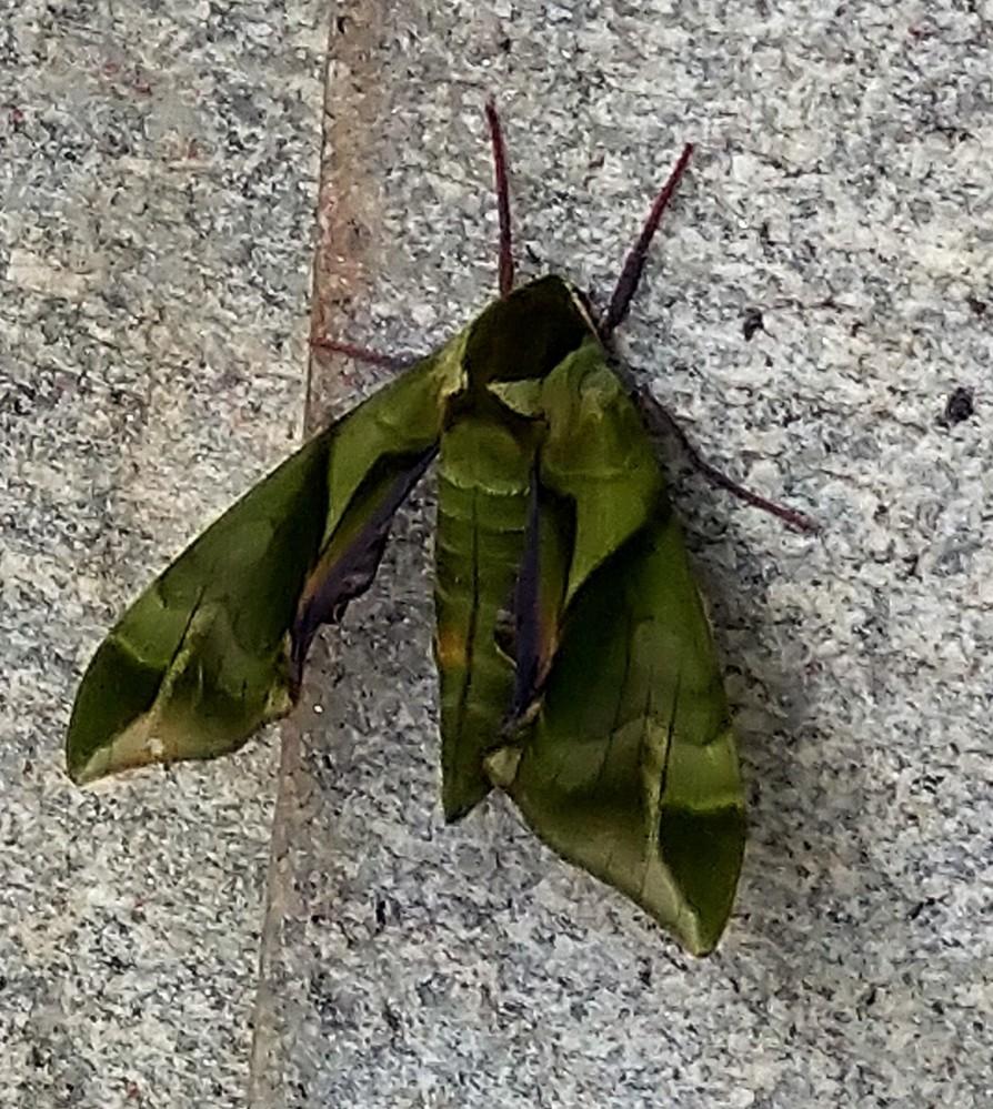 この虫は何ですか?神社の境内にいました。 葉っぱのように見えますが、虫でした。