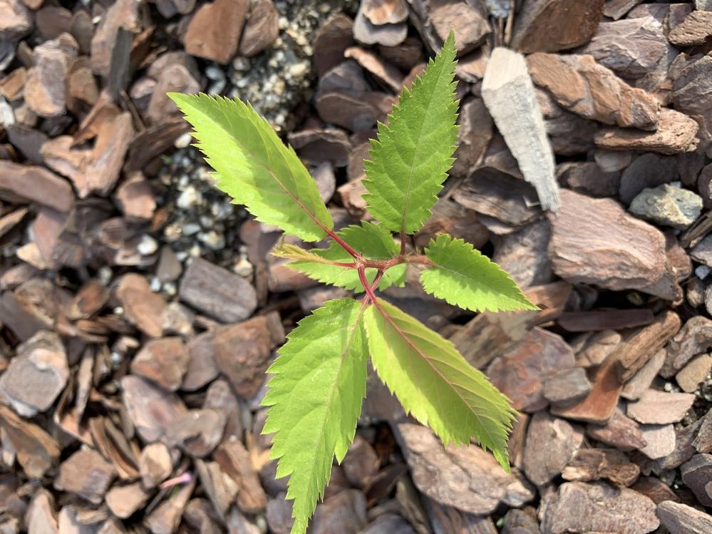 庭に生えてきた植物なのですが、何の芽か教えていただけますか?いつも抜いている雑草とは見た目が違うので一応抜かないで様子を見ています。